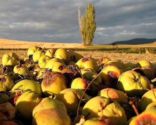 Rotten Apples on Ground